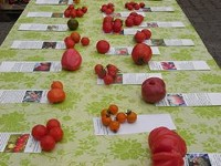 BIO-Tomaten Pflanzen