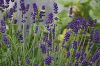 BIO-Kräuter L wie Lavendel, Lauchkräuter, Löwenzahn