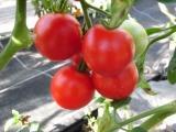 BIO-Pflanzen Tomaten rund, normal