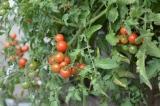 BIO-Pflanzen Freiland-Tomaten, Wild-Tomaten, Regenverträgliche-Tomaten