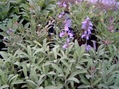 H6 S Spanischer Salbei BIO-Heilkräuter-Pflanze