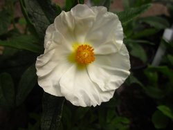 H4 Cistus Lack-Zistrose Alba  BIO-Pflanze