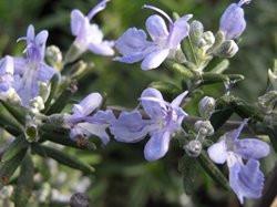 BIO-Topfkräuter-Pflanze Rosmarin 'Blue Rain' - winterhart -