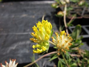 FL1 BIO-Kräuterpflanze Echter Wundklee