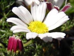 FL1 Römischer Bertram BIO Heilkräuter-Pflanze