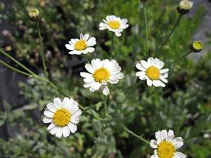 FL1 Mutterkraut BIO Kräuter-Pflanze