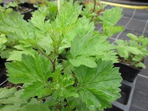 FL1 Beifuß Ligurisch BIO-Heilkräuter Pflanze Moxakraut grün