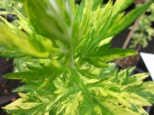 FL1 Beifuß Oriental Lime BIO-Heilkräuter Pflanze