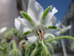 H1 BIO-Kräuterpflanze Boretsch weißblühend