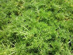 FL1 Englische Rasenkamille BIO Heilkräuter-Pflanze