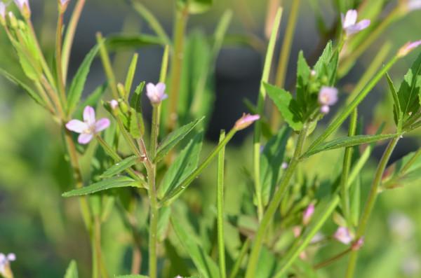 FL1 Kleines Weideröschen BIO Heilkräuter-Pflanze