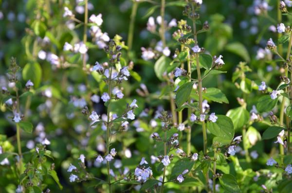 FL1 Römische Minze Triumphator BIO Kräuter-Pflanze