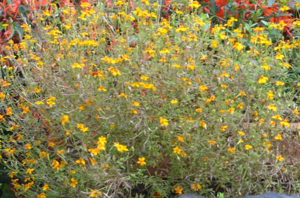 BIO-Gewürzpflanze Gewürztagetes
