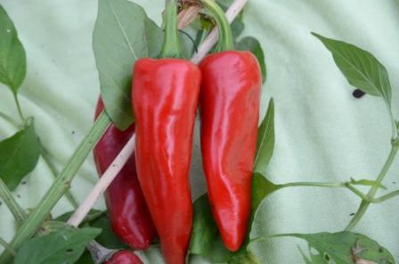BIO-Pflanze Paprika süß Sweet Dreams