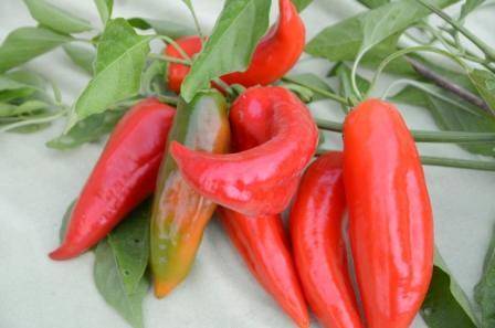 BIO-Pflanze Paprika süß Roter Augsburger