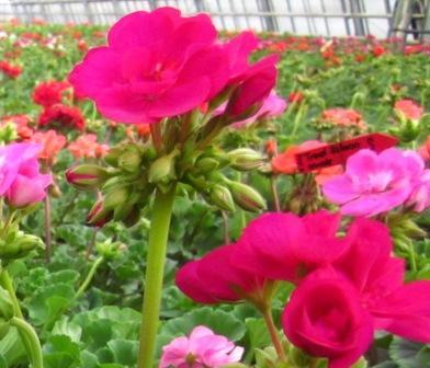 H5 BIO-Blumen Geranien stehend purpur