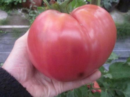 BIO-Pflanze Fleisch-Tomate Cudo Zemli Alte Tomatensorte