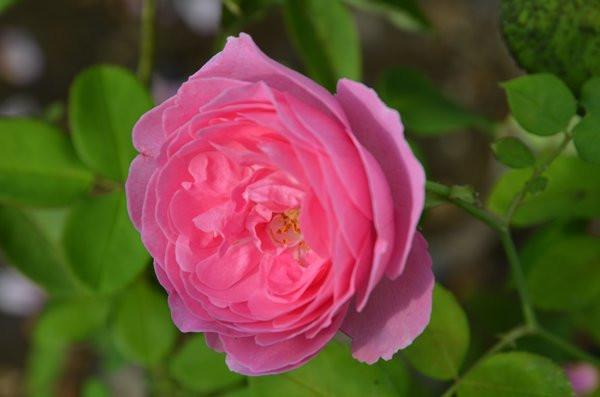 F2 BIO-Rose Louise Odier
