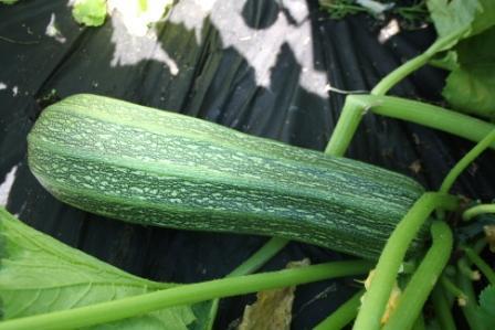 H6 Zucchini grün Costades Romanesco BIO-Gemüse-Pflanze