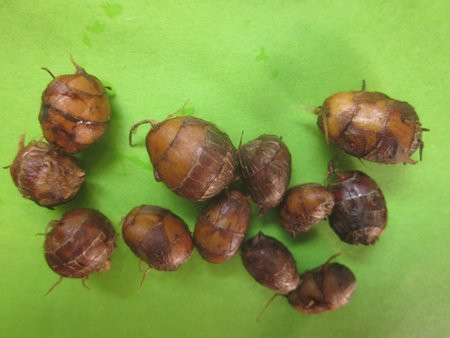 H11 Erdmandel BIO-Gemüsepflanze