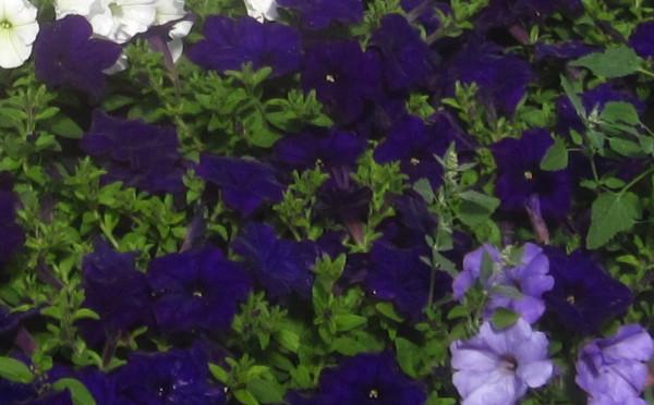 H5 BIO-Blumen Surfinia Petunien dunkelblau