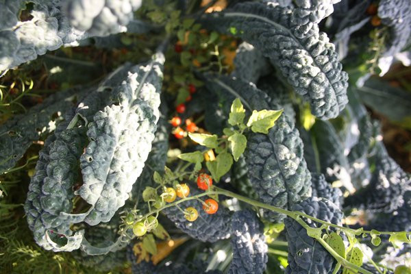 FL3 Nero di Toscana BIO-Gemüsepflanze