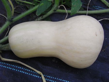 H11 Kürbis Butternut BIO-Gemüse-Pflanze