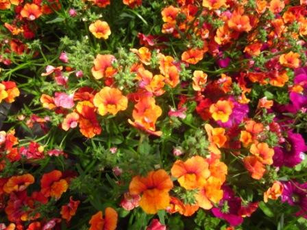 BIO-Blumen Elfenspiegel Sunsutia Orange