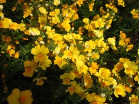 BIO-Blumen Elfenspiegel Sunsutia Gelb