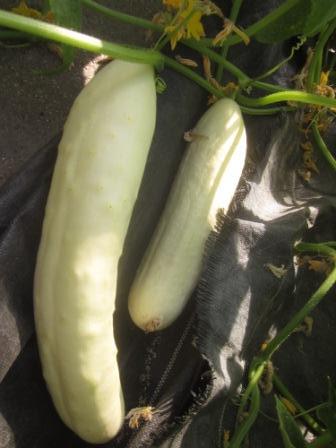 H11 Gurke Weiße Lange BIO-Gemüse-Pflanze