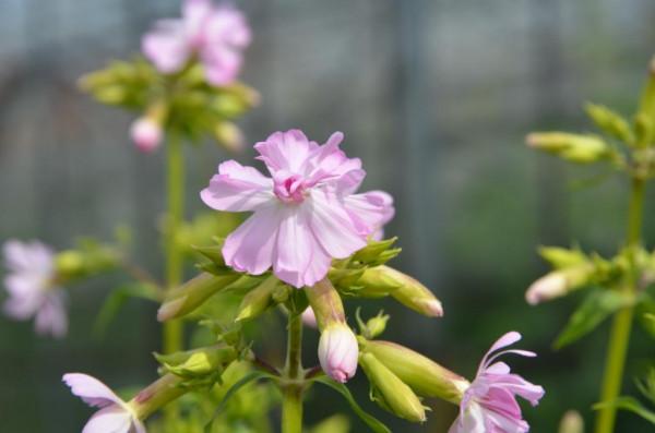 BIO Heilkräuter-Pflanze Echtes Seifenkraut