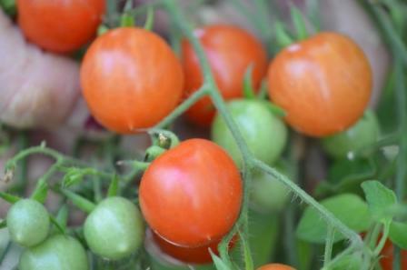 BIO-Samen Tomate Wild- Columbianum