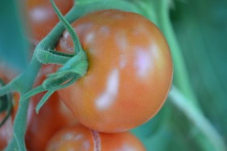 BIO-Samen Tomate rund normal- Sieger