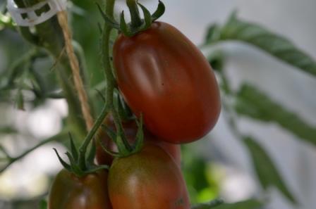 BIO-Samen Tomate Pflaumen- Black Plum