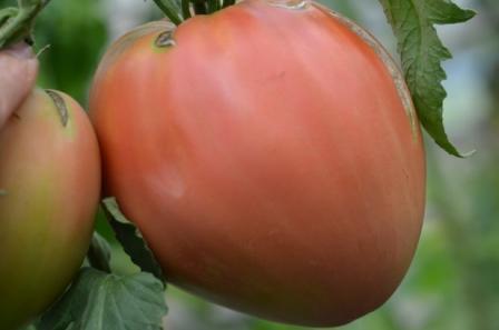 BIO-Pflanze Flaschen-Tomate Rotes Ei Alte Tomatensorte