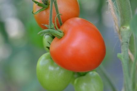 BIO-Samen Tomate rund normal- Karos