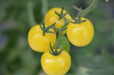 BIO-Samen Tomate Kirsch- Weiße Kirsche
