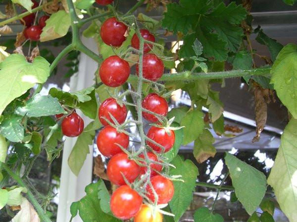 BIO-Samen Tomate Kirsch- Rote Kirsche