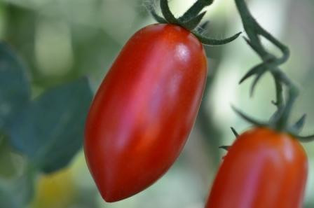 BIO-Samen Tomate Dattel- Donatella