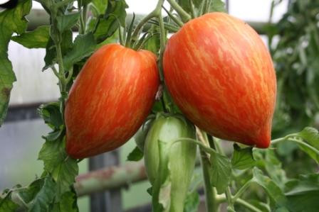 BIO-Samen Tomate Flaschen- Striped Roman