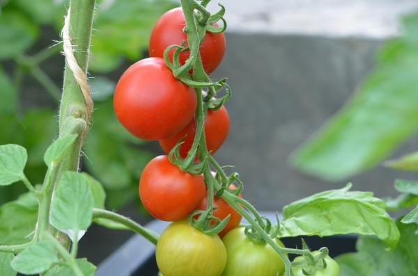 BIO-Pflanze Tomate rund HATO Rot