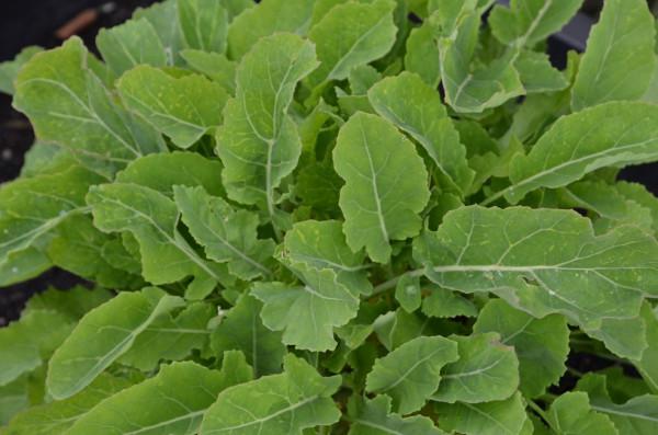 BIO-Gemüsepflanze Ewiger Kohl