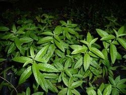 H4 Zitronenverbene BIO-Kräuterpflanze