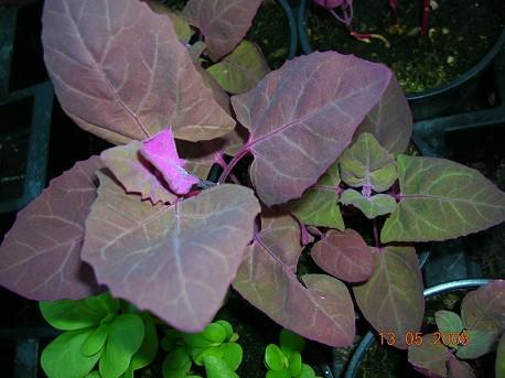 BIO-Kräuterpflanze Roter Baumspinat