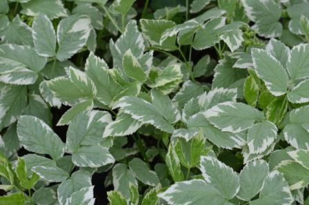 BIO-Wild-Kräuterpflanze Giersch weißbunt