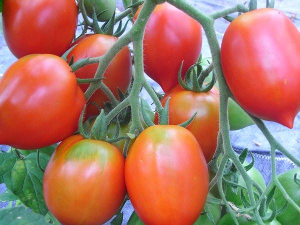 BIO-Samen Tomate Flaschen- Mini Britain's Breakfast Alte Tomatensorte