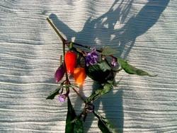BIO-Samen Chili scharf  Bolivian Rainbow
