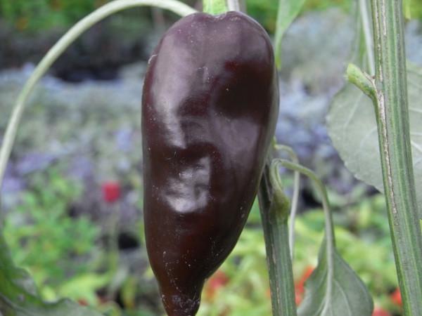 BIO-Samen C Chili leicht scharf Mulatto