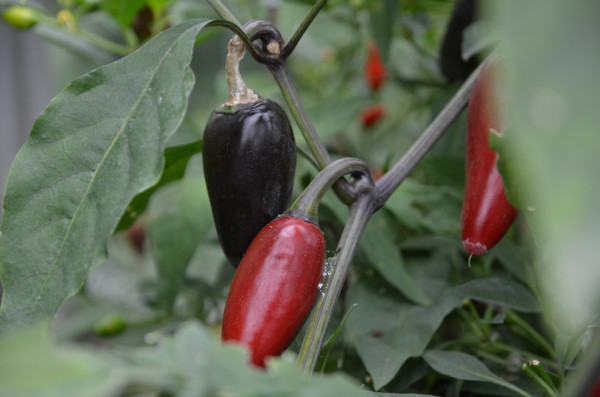 BIO-Samen Chili scharf Serrano Purple