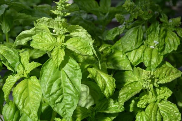 BIO-Samen OCI Salatblättriges Basilikum, Neapolitanisches Basilikum
